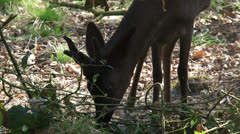 Black Roe Deer buck nibbling at branches - close up Stock Footage