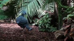 Victoria Crowned Pigeon in habitat Stock Footage