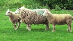 Agriculture Farming Ewe and Lambs Stock Footage