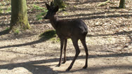 Stock Video Footage of Black Roe Deer buck (capreolus capreolus) itching