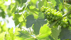 Green Grapes on the Grapevine ready to made into Wine Stock Footage