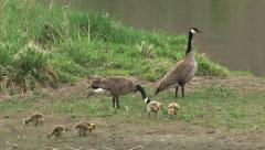 Canadian geese with gosling Stock Footage