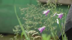 Bellflower. Stock Footage
