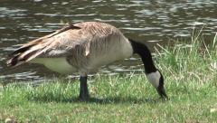 Canadian goose in yellowstone Stock Footage