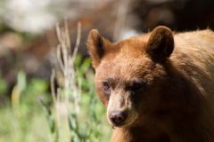 American black bear, ursus americanus Stock Photos