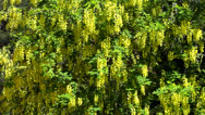 Stock Video Footage of laburnum anagyroides