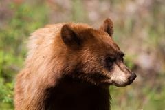 American black bear, ursus americanus Stock Photos