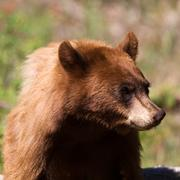 american black bear, ursus americanus - stock photo
