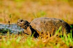 Gopher tortoise, gopherus polyphemus Stock Photos