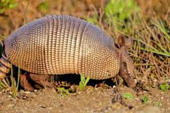Nine-banded armadillo, dasypus novemcinctus Stock Photos