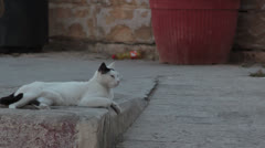 Maltese impressions - le chat chilling Stock Footage