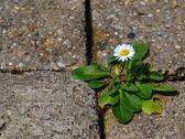 Stock Photo of one daisy on the sidewalk