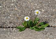 Stock Photo of two daisies on the sidewalk