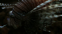 Floating Graceful Luxurious Lionfish 2 Stock Footage