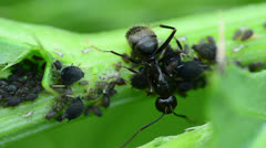 Ant And Aphids Stock Footage