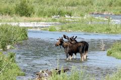 moose, alces alces - stock photo