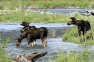 Stock Photo of moose, alces alces