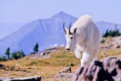 Mountain goat, oreamnos americanus Stock Photos