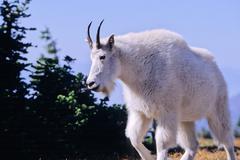 mountain goat, oreamnos americanus - stock photo