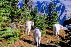 mountain goat, oreamnos americanus - stock photo