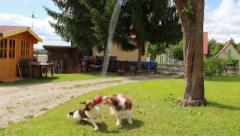 Dogs playing Ball 6 - stock footage