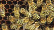 Stock Video Footage of Bees on the honeycomb 13