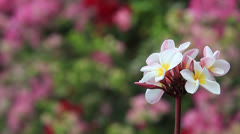 Medium Shot of Hawaiian White Plumeria Flower and Bougainvillea Stock Footage