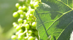 Green Grapes and Grape Leaf Blowing in the Wind Stock Footage