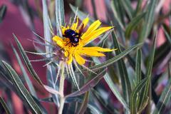 black bumble bee, bombus - stock photo