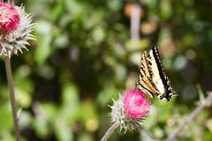 tiger swallowtail, papilio glaucas - stock photo