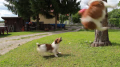 Dogs playing Ball 8 Stock Footage