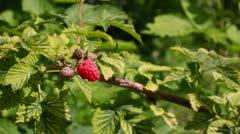 Gathering fresh raspberry Stock Footage