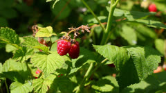 Growing fresh raspberry Stock Footage