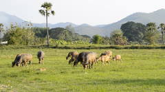 Asia buffalo in group countryside field Stock Footage