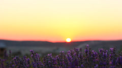 Closeup of lavender plants in a field at sunset Stock Footage
