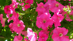 Petunia flowers Stock Footage