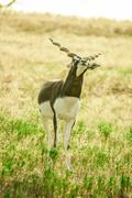 A young male Blackbuck - stock photo