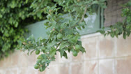 Stock Video Footage of Branch of a lemon tree with ripening fruits