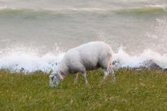 sheep eating grass on a dike - stock photo