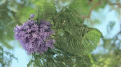 Bee on Jacaranda flowers Stock Footage