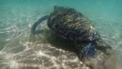 Sea turtle in the muddy water near the beach. sri lanka Stock Footage