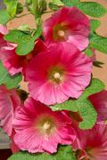pink hollyhocks - stock photo