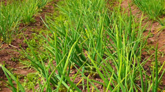 Green onion Stock Footage