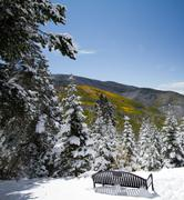 snow on yellow aspens - stock photo