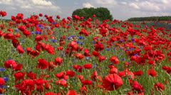Beautiful Poppy Field in Mecklenburg - Northern Germany Stock Footage