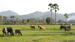 Asia buffalo group in countryside field Stock Footage