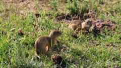 European ground squirrel Stock Footage