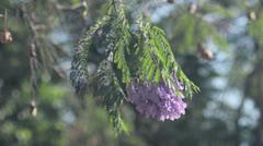 Flowers of jacaranda swinging on the tree Stock Footage