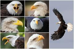 Bald eagles Stock Photos