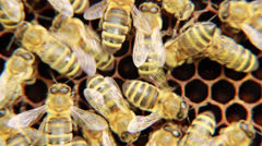 Bees on the honeycomb. 6 Stock Footage